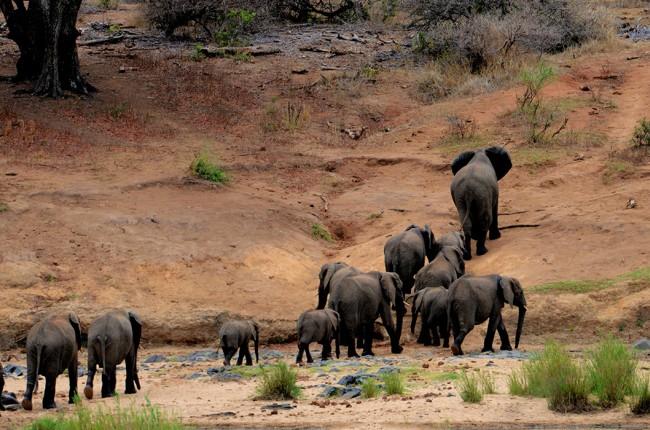 Herd of elephants crossing stream