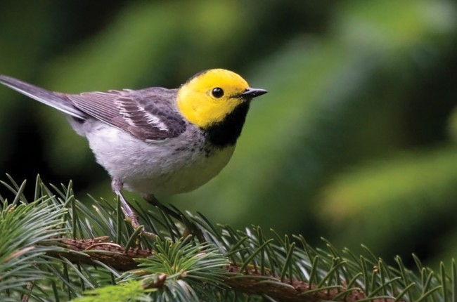 warbler bird on tree branch